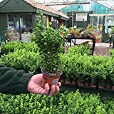 Box (Buxus) Hedging Pack x 25 Plants in 9cm pots
