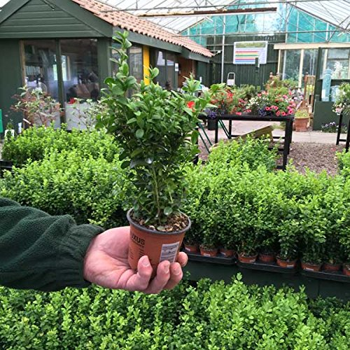 50 x Buxus Sempervirens 15-25cm in 9cm pot (a266)