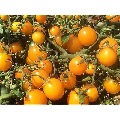 Gold Nugget Cherry Tomato Seeds (25 Seeds) : Garden & Outdoor