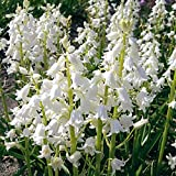 Raflesa HYACINTHOIDES HISPANICA White City A.K.A Wood Hyacinth or Spanish Bluebells, Delight in The Garden,Pretty Spring Flowers. (25 Bulbs)