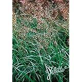 Hierochloe odorata Sweet Grass 250 seeds