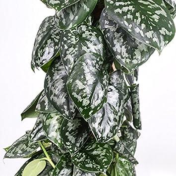 27 cm Kulturtopf erstklassige Pflanzenqualit/ät vom Fachg/ärtner 150 cm hoch Scindapsus pictus Trebie ca Gefleckte Efeutute am Moosstab