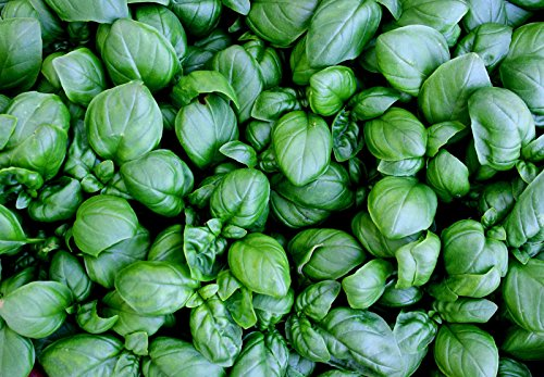 39g Lettuce Leaf BASIL Seeds ~23,000 Ct ~ Wholesale Package ~ HUGE Leaves Herb by thepowerofplants