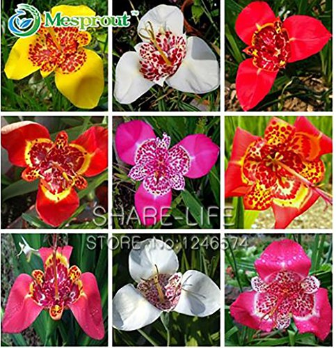 Yongyut-Tigridia Pavonia Flowers Seeds Colorful Flowers Tiger Orchid For Home Bonsai Balcony Planting Easy to Plant-100 (Salba Tiger)