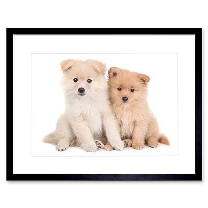 Amazon Com Photo Composition Nature Animal Dog Pomeranian Puppy