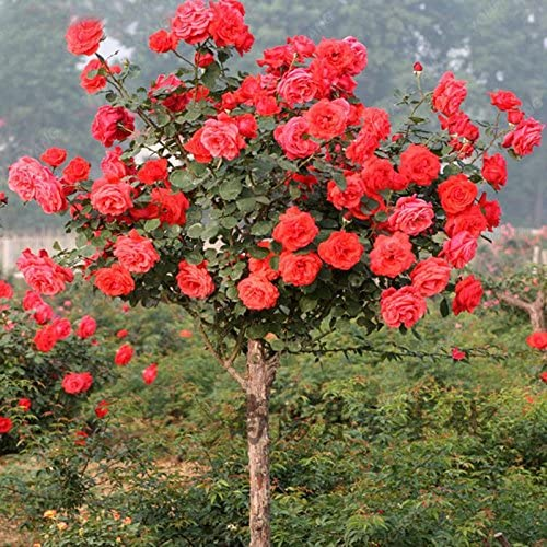 100pcs / bag Rose rosal Semillas Semillas Bonsai Semillas de flores exóticas jardín de plantas en maceta decoración para jardín: Amazon.es: Jardín