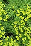 Cypress Spurge Euphorbia Cyparissias Journal: Take Notes, Write Down Memories in this 150 Page Lined Journal