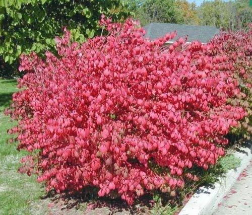 - 10 Dwarf Burning Bush Hardy Shrub bare root -Euonymus alatus Hardy Shrub Plants