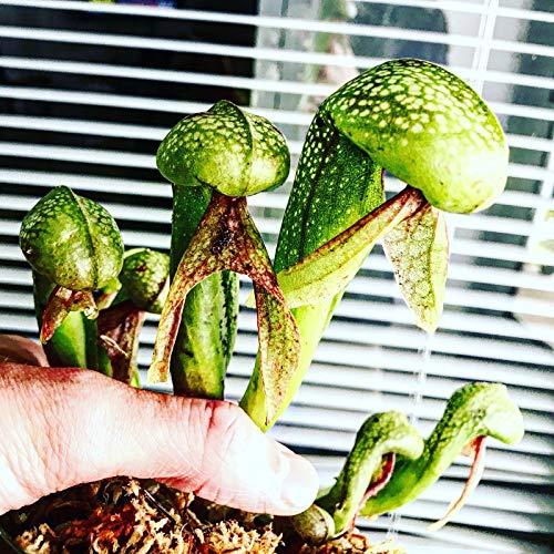 Darlingtonia (Cobra Lily) pre-stratified Seeds (30 Count)