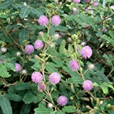 Miniature Fairy Garden Mimosa pudica, Fairy Sensitive Plant