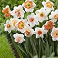 50 Large Assorted Pink Collection Narcissus bulbs of pink cupped varieties, features Large Cupped Professor Einstein , Large Cupped Pink Pride , Cragford and more trumpets, small cups, split cups and doubles. Blooms Mid Spring -->Deer Won't Eat <<---