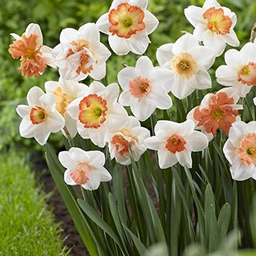50 Large Assorted Pink Collection Narcissus bulbs of pink cupped varieties, features Large Cupped Professor Einstein , Large Cupped Pink Pride , Cragford and more trumpets, small cups, split cups (Split Cup Daffodil)