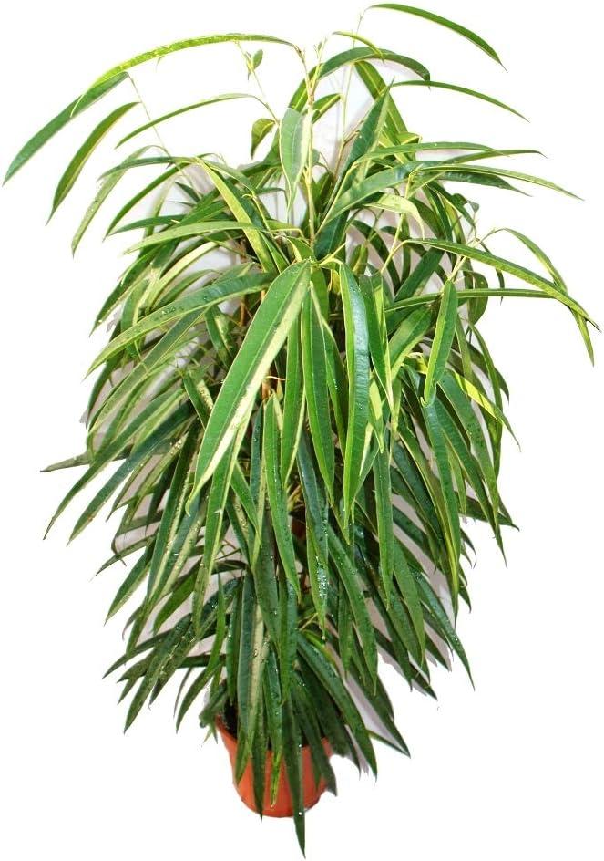 langbl/ättrige Birkenfeige K/önigss/äule 17cm Topf Ficus binendijkiiAlii