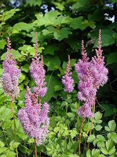 Home Comforts LAMINATED POSTER Flowers Pink False Goats Beard False Spirea Astilbe - False Spirea Astilbe