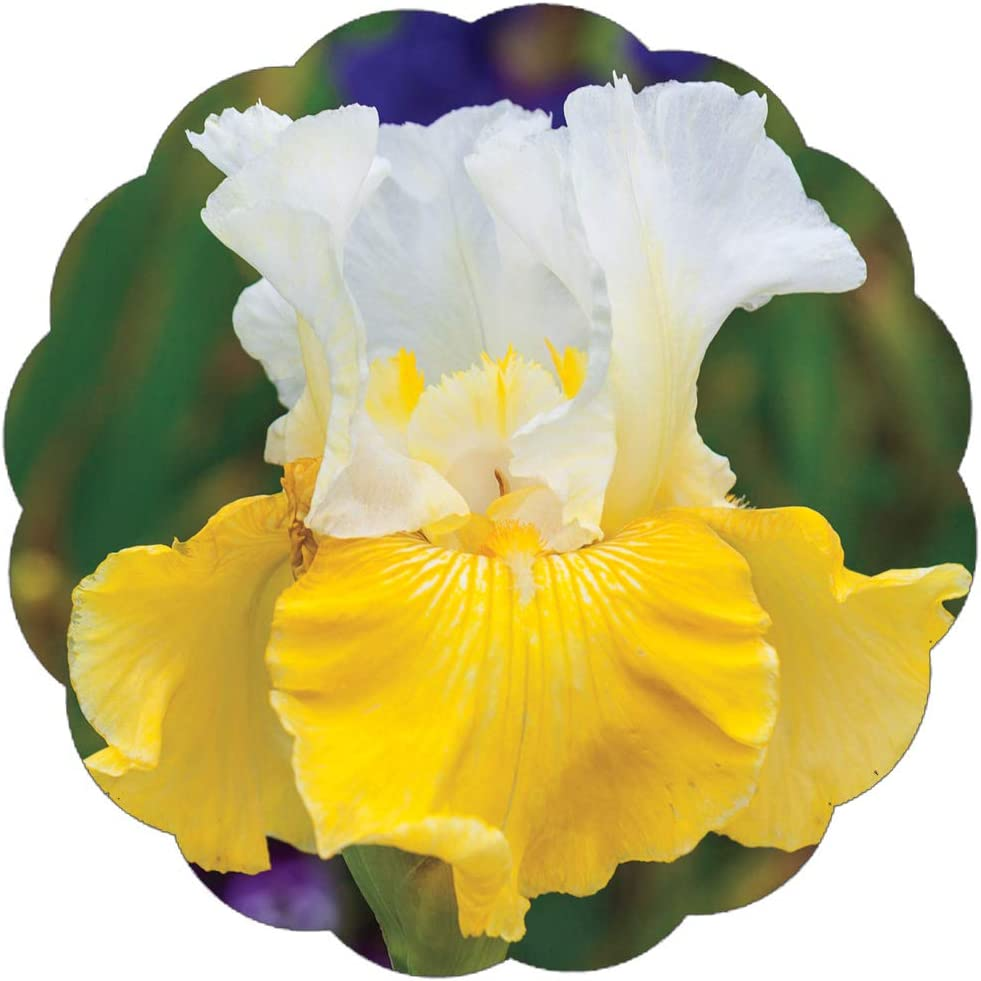 2 Iris Bulbs Perennial Bearded Resistant Yellow Flower Plant Excellent Bonsai