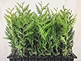 Thuja Arborvitae Green Giant Qty 40 Live Trees Evergreen Privacy