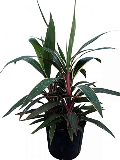 Amazon.com : PlantVine Cordyline fruticosa 'Pink Diamond ... on alternanthera house plant, aphelandra house plant, pleomele house plant, araucaria house plant, colocasia house plant, red and green leaf house plant, cereus house plant, olearia house plant, windmill palm house plant, lantana house plant, iris house plant, kentia palm house plant, acacia house plant, crassula house plant, zinnia house plant, scilla house plant, sansevieria house plant, mandevilla house plant, camellia house plant, giant white bird of paradise plant,