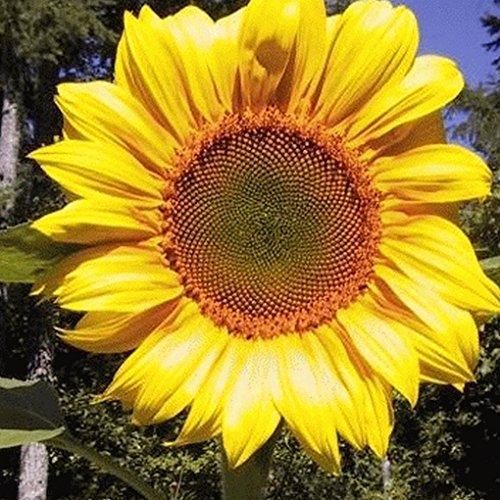 sunflower seeds bulk for planting - 3