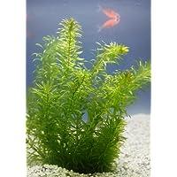 Wasserpflanzen Wolff - Klärpflanze! - Egeria densa - winterharte Wasserpest