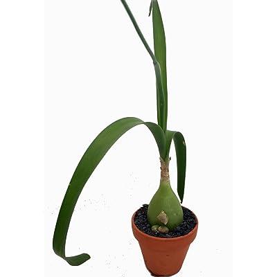 """Rare Pregnant Onion House Plant - Ornithogalum - STRANGE - 3"""" Pot : Succulent Plants : Garden & Outdoor"""
