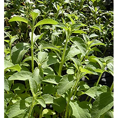 True Source Seeds - STEVIA Sweet Leaf Herb, Rare 10 True Seeds : Garden & Outdoor