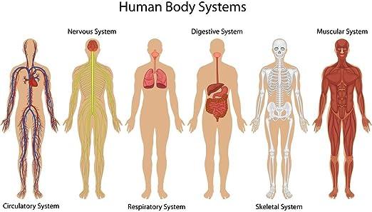 Amazon Com Systems Of Human Body Anatomy Chart Illustration Cool Wall Decor Art Print Poster 36x24 Home Kitchen