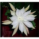 Epiphyllum anguliger - Fishbone Cactus - Moon Cactus - Queen of the Night - Rick-Rack Orchid Cactus - 10 seeds