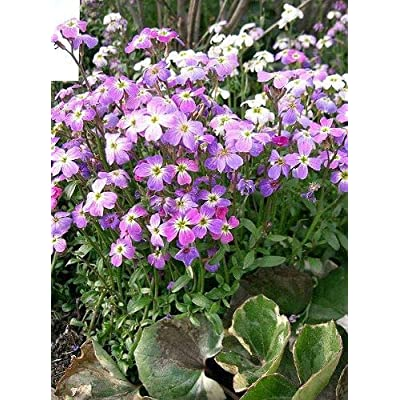1000 Evening Scented Stock Mix Matthiola Bicornis Seeds : Garden & Outdoor