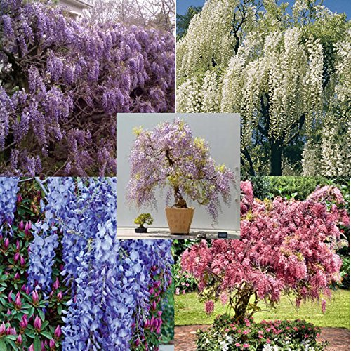 (RARE Very hard to find them all: 5 different colors of Wisteria, package of 25 seeds, 5 each color)
