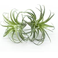ZJCilected 2PCS Artificial Flocking Tillandsia Air Plants Faux Succulents Bromeliads for Indoor/Outdoor Garden and Home Decor, Terrarium Decorations, Arrangements, Office, and Displays(Small)