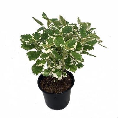 "Variegated Swedish Ivy Plant - Plectranthus coleoides -4"" Pot : Garden & Outdoor"