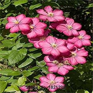 100pcs/bag Clematis seeds flower clematis vines bonsai flower seeds perennial flowers climbing clematis plants for home garden 3