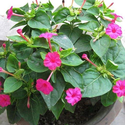 30 piezas de semillas de jazmín púrpura terraza jardín patio plantas en maceta hermosas semillas de flores ornamentales: Amazon.es: Jardín
