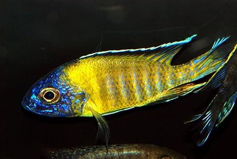 Amazon Com Worldwidetropicals Live Freshwater Aquarium Fish 3 5