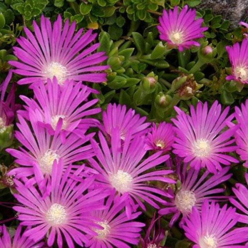 Ice Seeds - Outsidepride Ice Plant Table Mountain Ground Cover Plant Seed - 500 Seeds