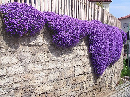 250 Aubrieta Seeds   Cascade Purple Flower Seeds  Perennial   Deer Resistant