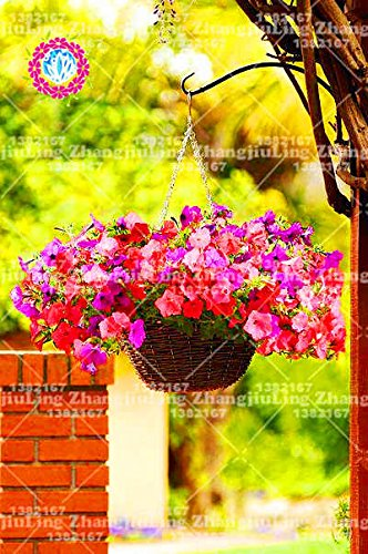 Amazon com : 100pcs Hanging Picotee Morning Glory Seeds