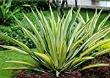 10 Seeds Furcraea undulata Ornamental Plant