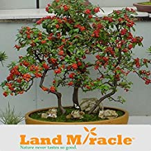 Perennial Herbs Fruit Seed, Bonsai Sea-buckthorn Tree Seed, Rare Hippophae rhamnoides - 20 Pcs Land Miracle #M424