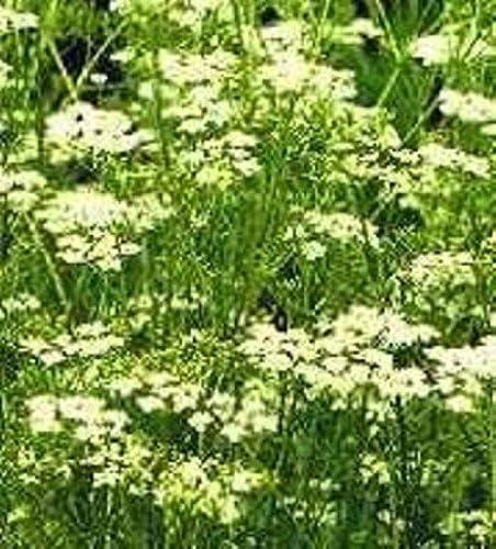 6000 Seeds Herb Seeds Meadowsweet