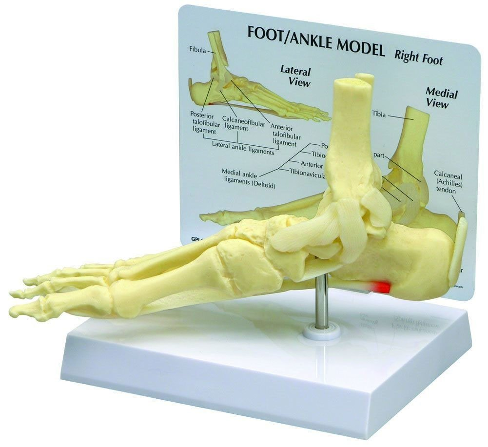 Amazon Foot And Ankle Bone Joint Anatomical Model Industrial