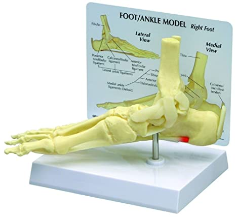 Buy GPI Anatomicals Foot and Ankle Bone Joint Anatomical Model ...