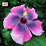 100pcs Japanese Hibiscus Seeds 5 kinds Hibiscus Rosa-sinensis Flower Seeds Hibiscus Tree Seeds for Flower Potted (4#)