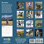 2020 Blue Heelers Wall Calendar by Bright Day, 16 Month 12 x 12 Inch, Cute Dogs Puppy Animals Australian Cattle Canine ACD Queensland Heeler 7