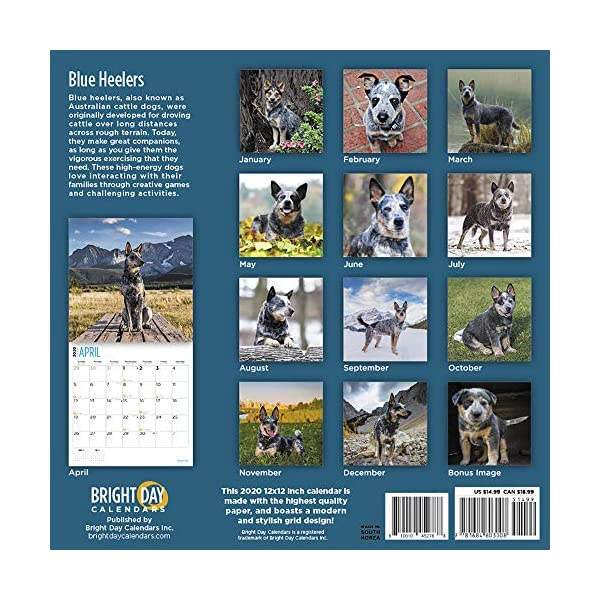 2020 Blue Heelers Wall Calendar by Bright Day, 16 Month 12 x 12 Inch, Cute Dogs Puppy Animals Australian Cattle Canine ACD Queensland Heeler 2