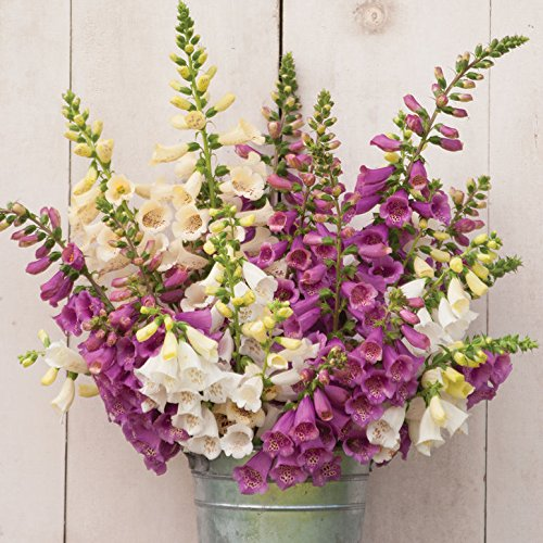 Digitalis Camelot Mix, Blooms First Year, Lovely Colors, Bulk, Professional Grower, Greenhouse,100 Seeds