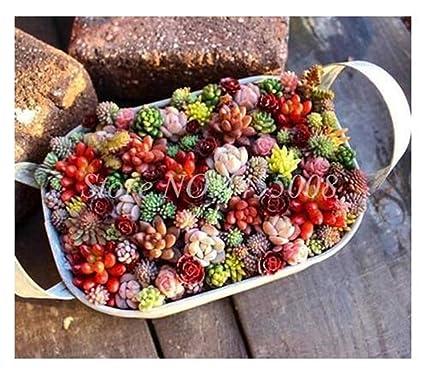 Amazon.com: 500 piezas/bolsas semillas exóticas Mini ...