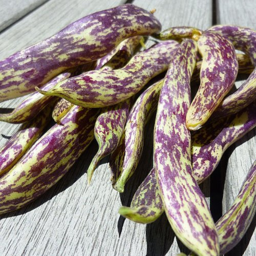 Heirloom Dragon Toungue Langerie Bean Seed by Stonysoil Seed Company