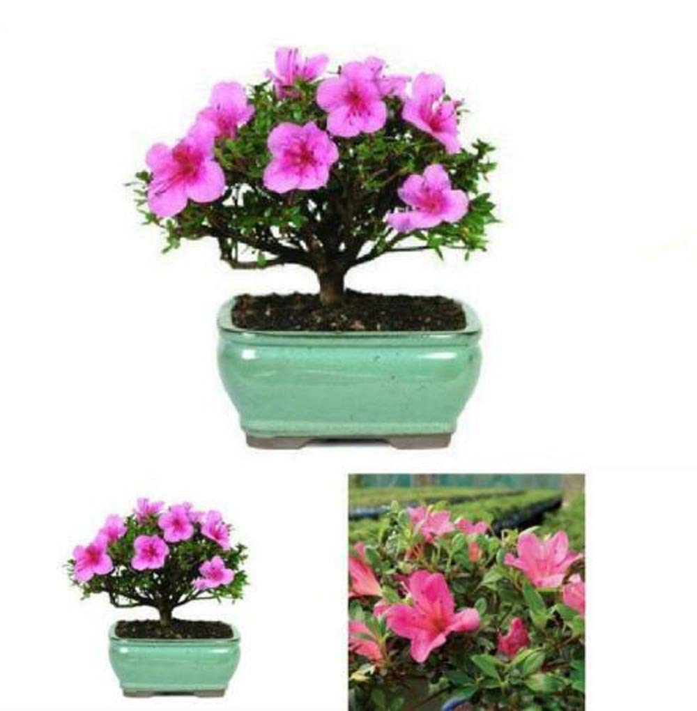 Bonsai Outdoor Live Tree Garden Flower Plant Pot Decor Indoor Home Best Gift Plant A6