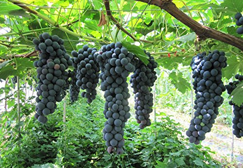 Fruit Grape Seeds 20/Pack Kyoho Grape Seeds Black/Red/Green Mention Child Delicious Nutritious Sweet Natural Snack Organic Seeds for Planting Garden Courtyard (Xiahei Grape Seeds) (Grape Seeds For Planting)